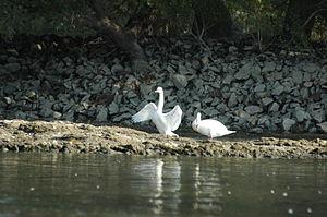 English: White swans (Cygnus olor)