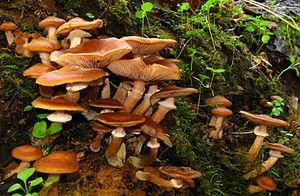 Armillaria mellea (Vahl) P. Kumm. Location: St...