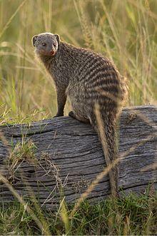 Banded mongoose  Wikipedia