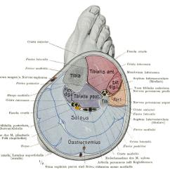 Medial Lower Leg Muscles Diagram Vw Type 3 Wiring Calf Wikipedia