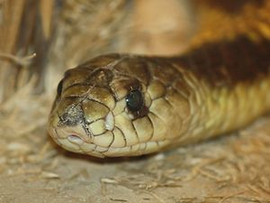 Egyptian Cobra (Naja haje) at the Louisville Zoo