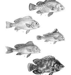 diagramma pictum fishbase [ 1200 x 1615 Pixel ]