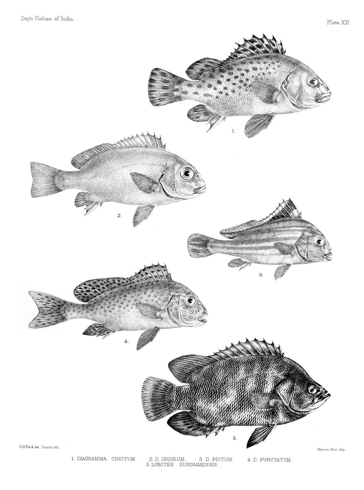 hight resolution of diagramma pictum fishbase