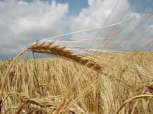 English: Grain in the field
