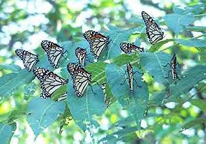 English: Monarch butterflies