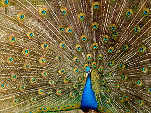 A Peafowl flaring his feathers. Français : Un ...