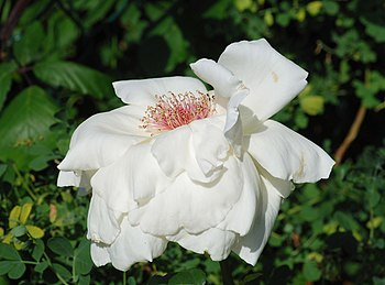 English: Garden rose (Rosa canina)