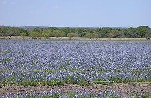 A field of Texas Bluebonnets