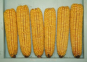 English: A display of six ears of field corn w...