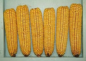 English: A display of six ears of field corn w...