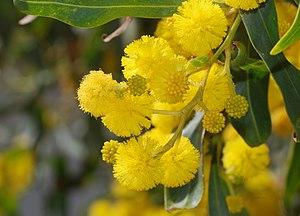 Acacia saligna (Acacia) Camera: Nikon D80 with...