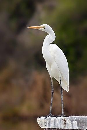 Eastern Great Egret (Ardea modesta), Gould's L...