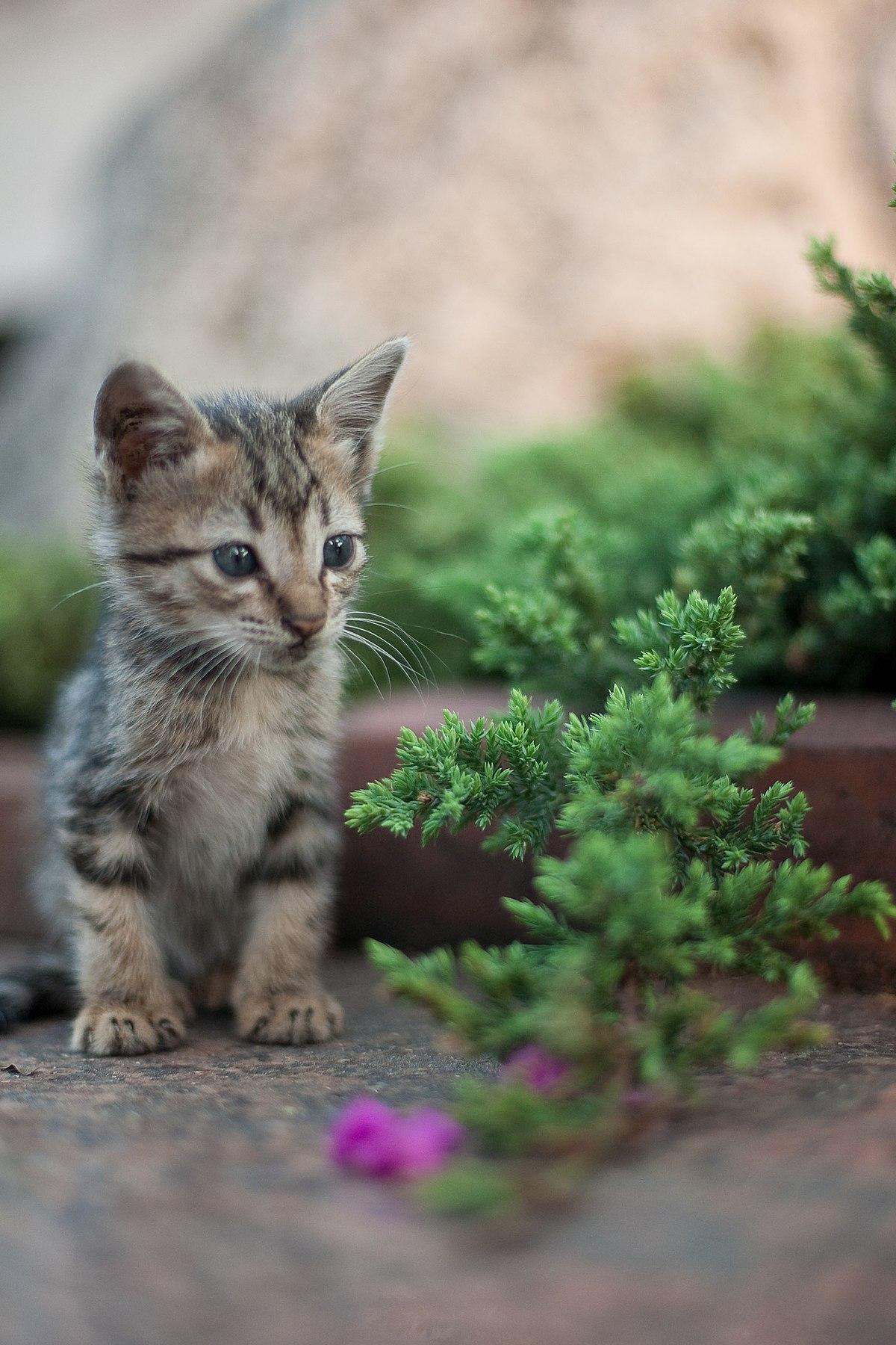 Nama Kucing Yg Bagus : kucing, bagus, Kucing, Wikipedia, Bahasa, Indonesia,, Ensiklopedia, Bebas