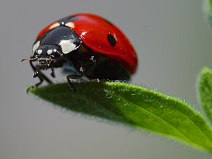 A ladybug standing on a leaf. Photograph taken...
