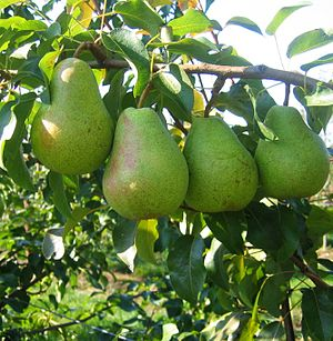 Fruits of Lukas pear