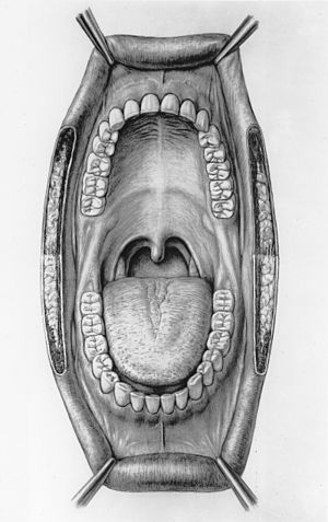 Medical illustration of a human mouth by Dunca...