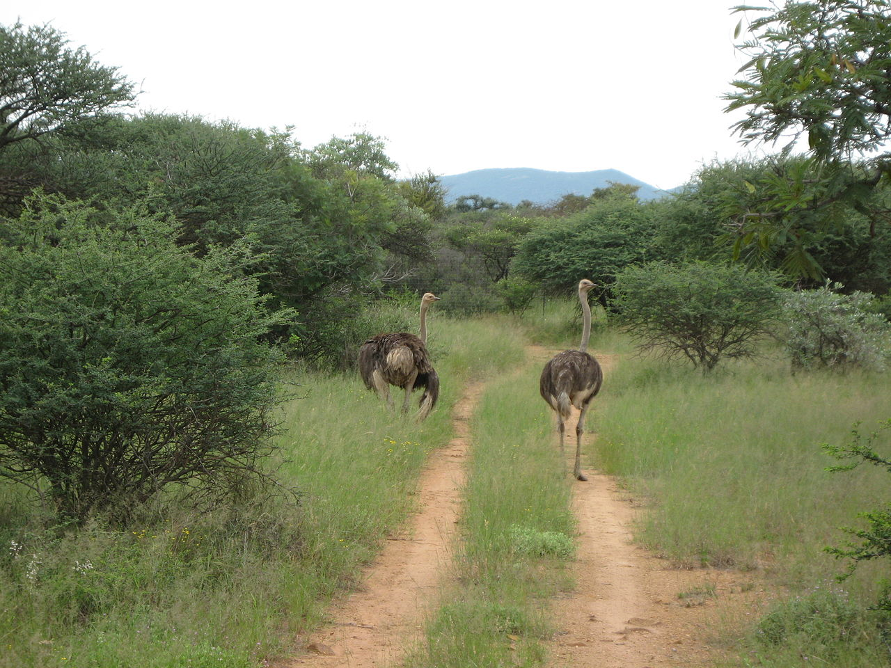 FileOstriches at Mokolodi Nature Reserve BotswanaJPG