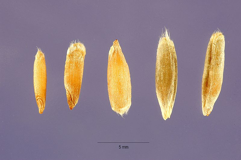 File:Secale cereale - cereal rye - Steve Hurst USDA-NRCS PLANTS Database.jpg