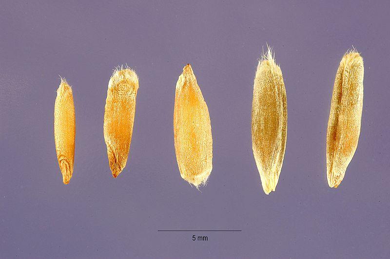 File:Secale cereale - cereal rye - Steve Hurst USDA-NRCS PLANTS Database.jpg