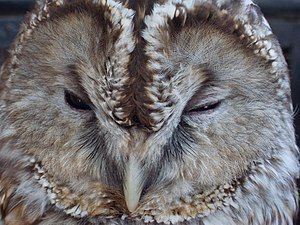 Slepping Ural Owl (Close up)