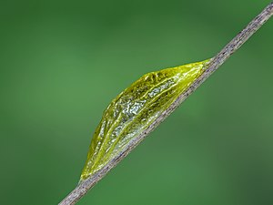 Pupa of Narrow-bordered Five-spot Burnet. Phot...