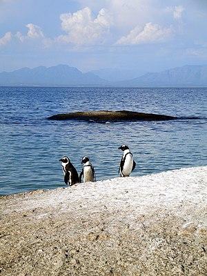 Three African penguins (Spheniscus demersus). ...
