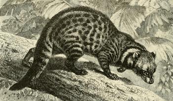English: African civet