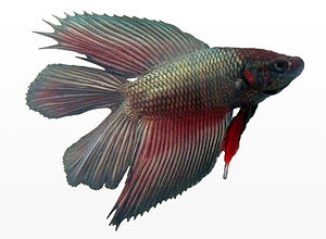 A male metallic double-tail Betta (Betta splen...
