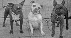 English: Three small bulldogs photographed in ...