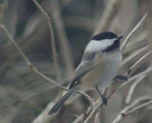 a Black-capped Chickadee in Michigan in late D...