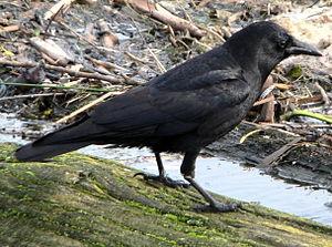 Corvus brachyrhynchos or Corvus caurinus Engli...