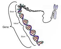 Diagram of the location of introns and exons w...