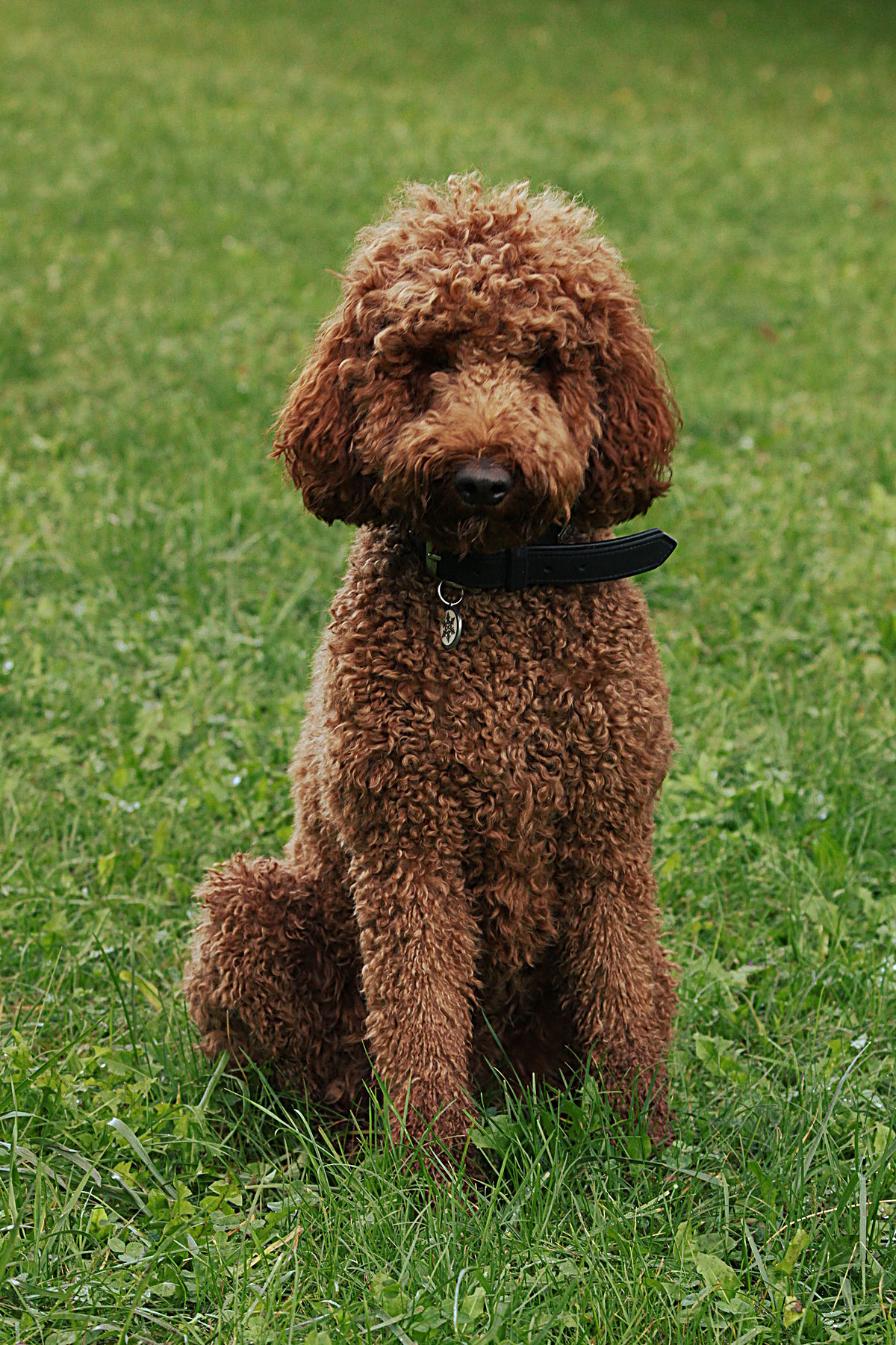 Hypoallergenic Dog Breed