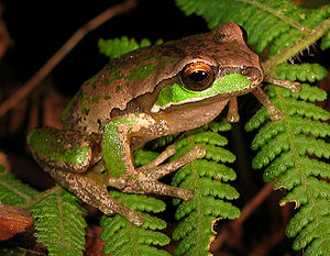 English: The New England Tree Frog (Litoria su...