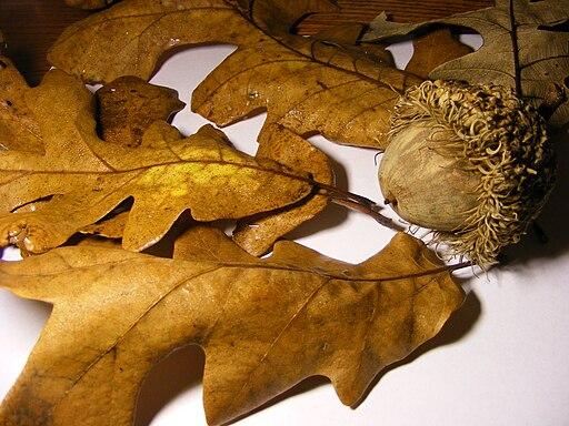 Oak tree Seed and leafs 2009
