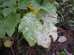 Powdery mildew, a Biotrophic Fungus