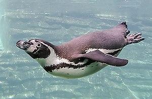 Humboldt Penguin swimming under water