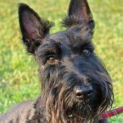 2005 Big Dog Bulldog Wiring Diagram 24v Transformer Scottish Terrier Wikipedia