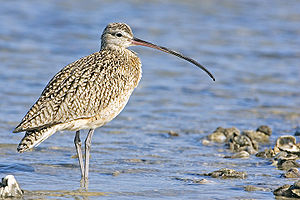 Long-Billed Curlew (Numenius americanus), Fish...