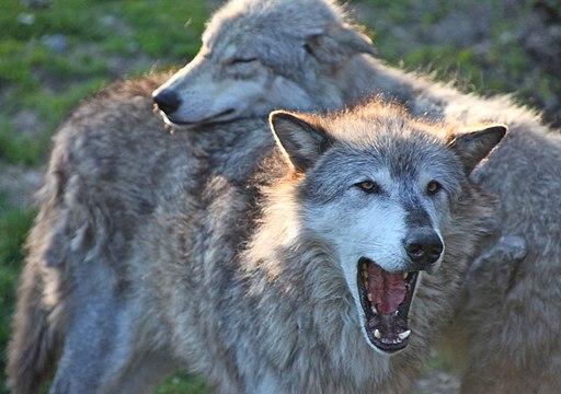 Gray wolf pair (6862200695)