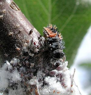 Ladybird larva (Harmonia axyridis) eating wool...