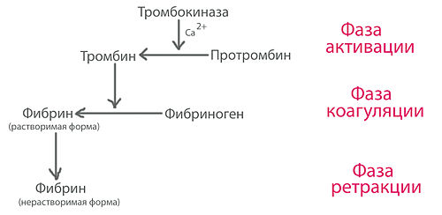 Свертывание крови (гемостаз). Все фазы поэтапного свертывания крови Какие структуры участвуют в свертывании крови