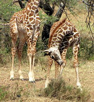 English: Two young, Maasai Giraffes (Giraffa c...