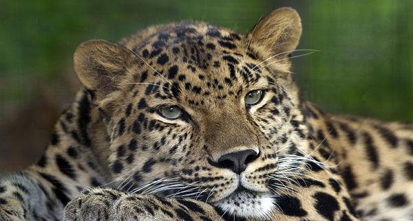 Картинки по запросу яванські леопарди