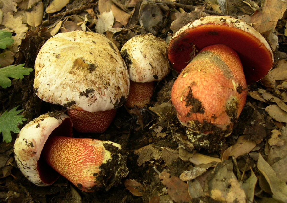 Rubroboletus rhodoxanthus  Wikipedia