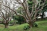 Erythrina variegata (Naha, Okinawa, Japan)