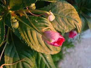 English: My garden flower