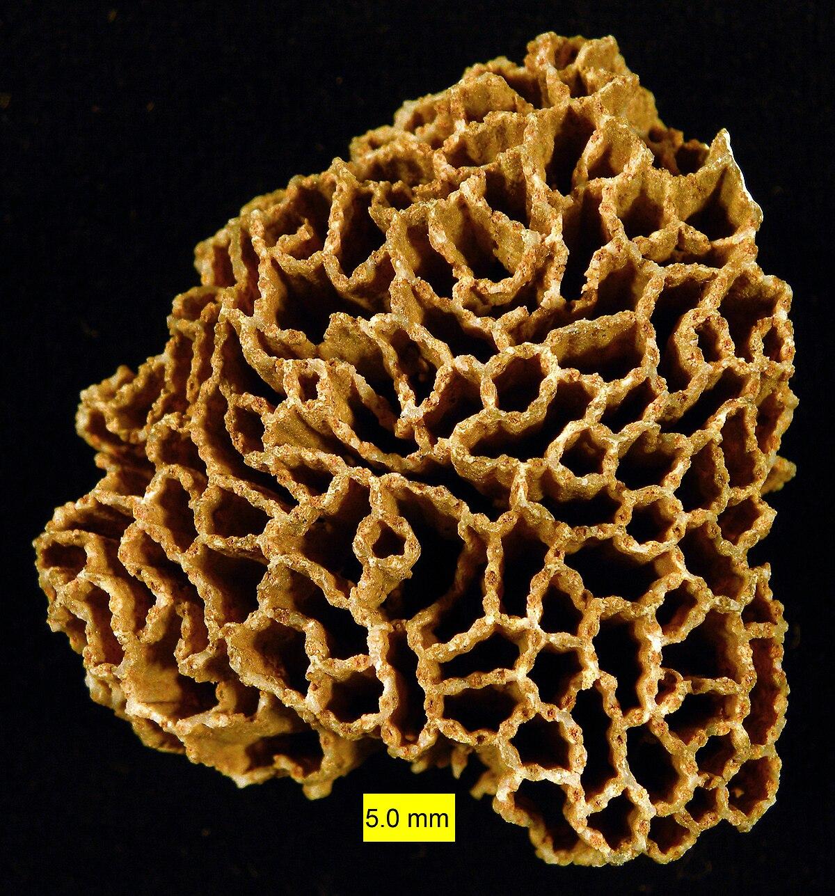Halysites  Wikipedia