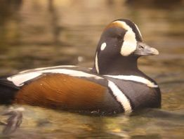 English: Harlequin Duck Histrionicus histrioni...