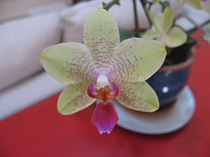 English: An orchid as a decorative houseplant.